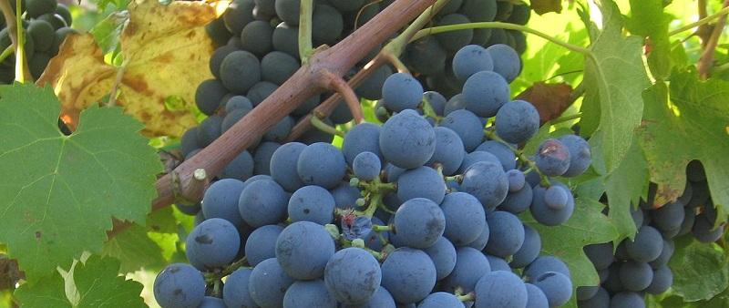 Anceu se dedicou à vinicultura